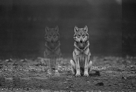 two_wolves